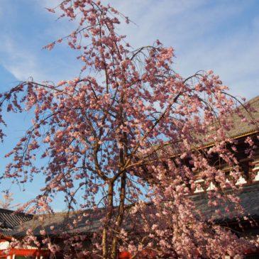 【徹底調査】奈良市内にある「桜の名所・お花見スポット」一覧【長く楽しめる】