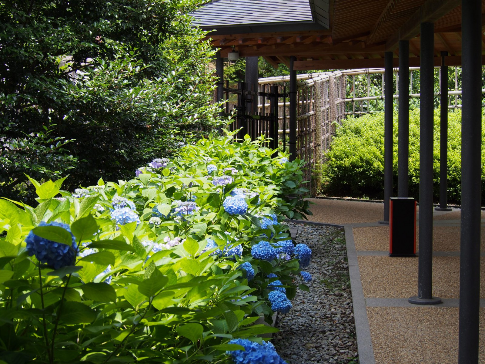 奈良春日野国際フォーラム甍(日本庭園)のアジサイ