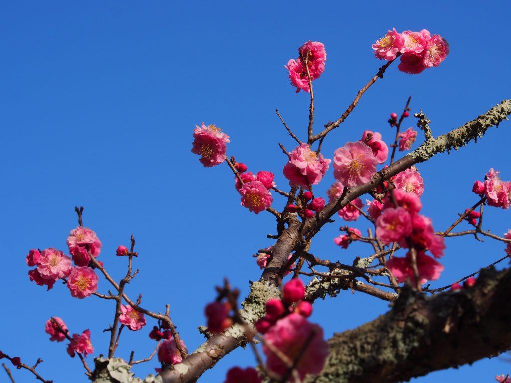 片岡梅林の「紅梅」