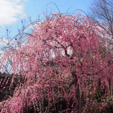 【月ヶ瀬梅林】ダム湖沿いに広がるのは「関西有数の大梅林」
