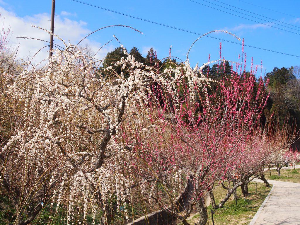 月ヶ瀬梅林公園の梅