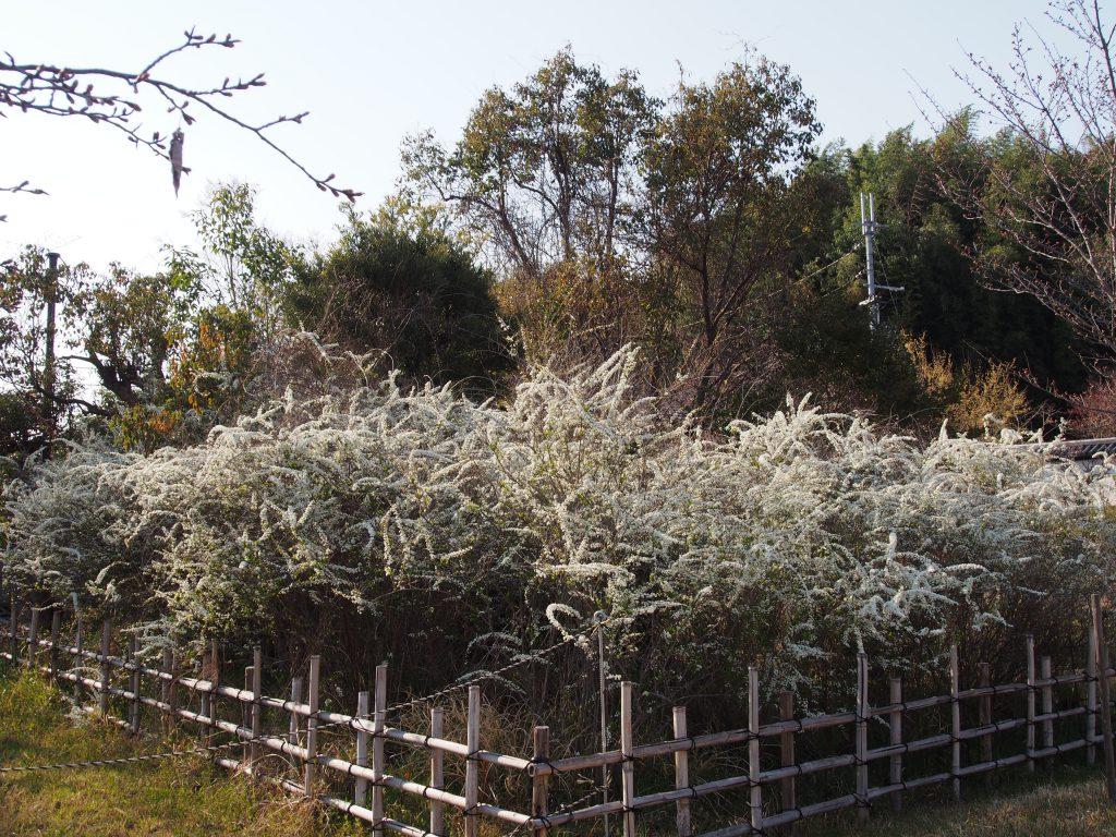 興福院の雪柳(ユキヤナギ)
