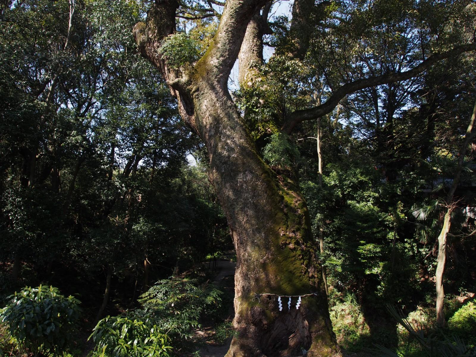 奈良豆比古神社裏側にそびえるクスノキ