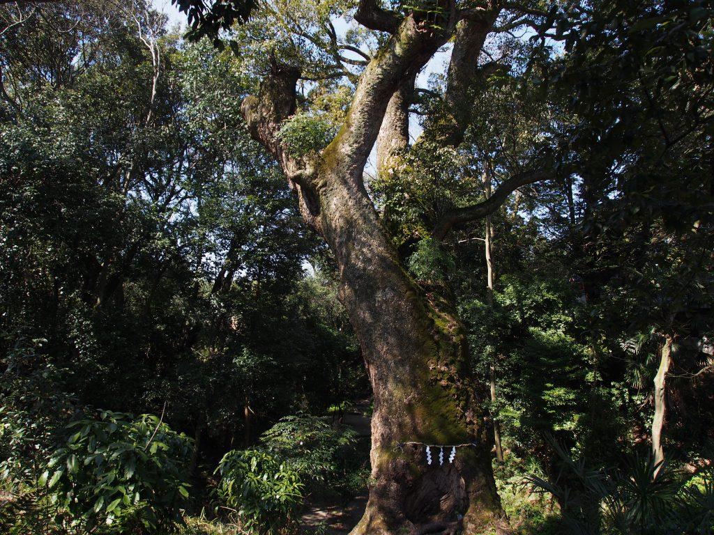 奈良豆比古神社のクスノキ