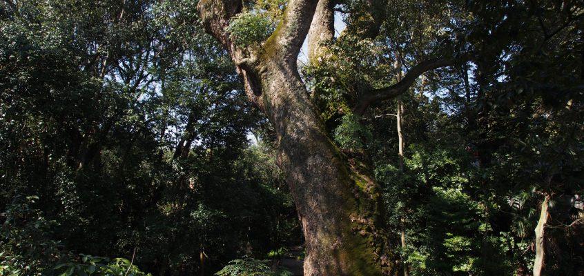 【奈良豆比古神社のクスノキ】神秘的な空間に圧倒的な姿を見せる樹齢1000年の大木