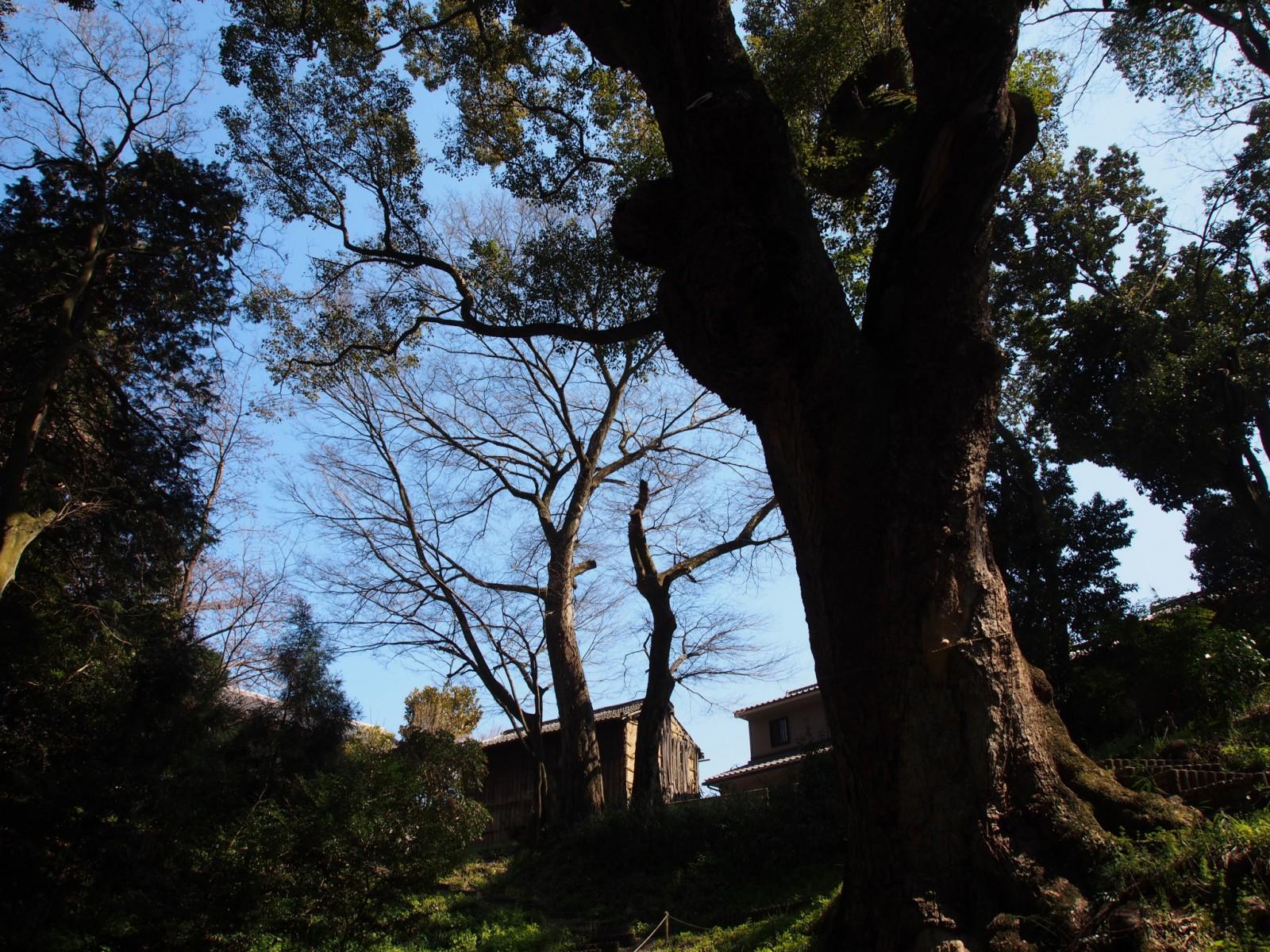 奈良豆比古神社の「窪地」から見上げる楠の神木