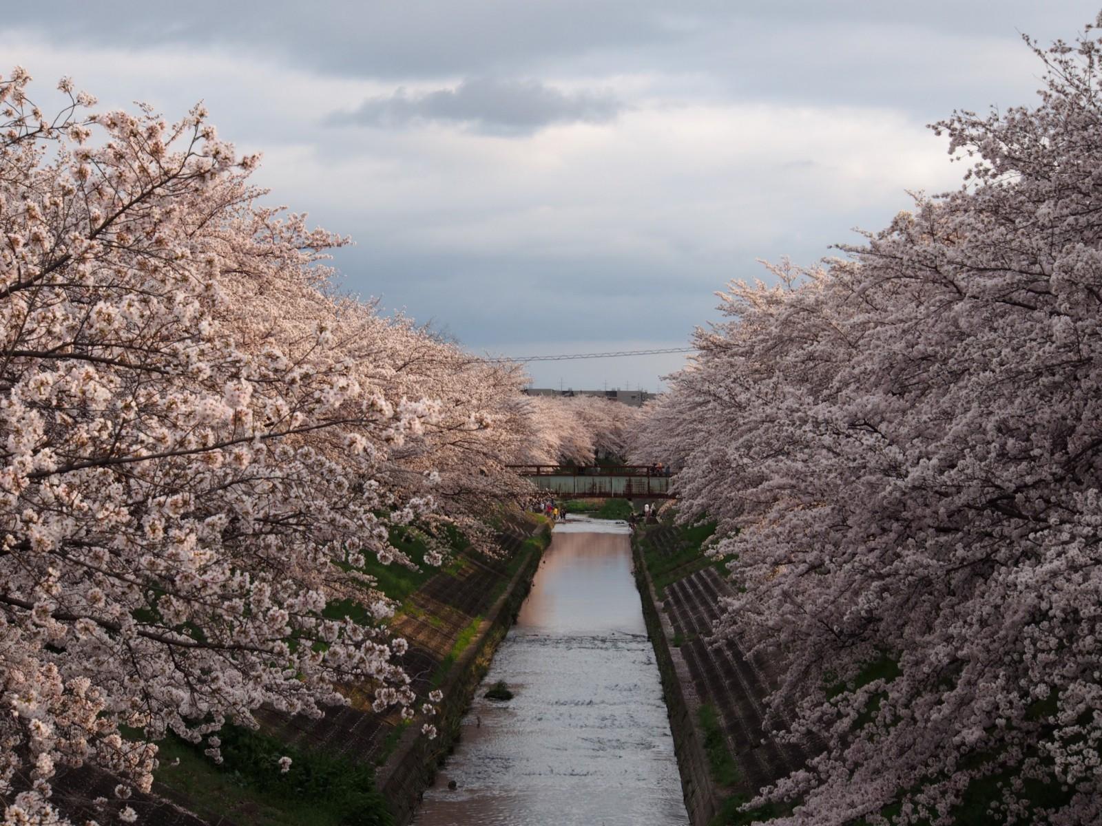 三笠中学校周辺の桜並木