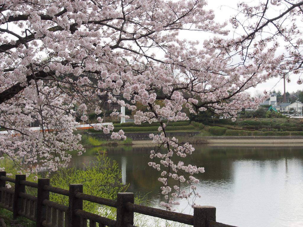 鴻池の水辺に咲く桜
