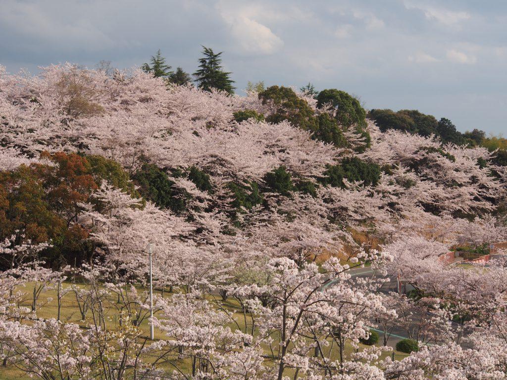 鴻ノ池運動公園の「緑の丘」の桜並木