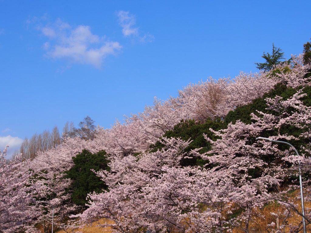鴻ノ池陸上競技場周縁の「桜の山」