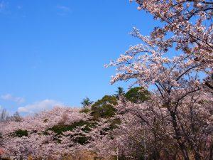 【奈良・佐保路】市民しか知らない桜の名所「鴻ノ池運動公園(奈良電力鴻ノ池パーク)」ってどんなところ?【桜の写真多数】