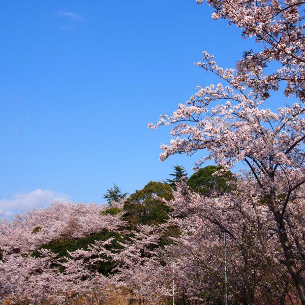 吉野山や三室山すら彷彿とさせる「鴻ノ池運動公園」の桜