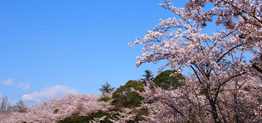 【鴻ノ池運動公園(奈良電力鴻ノ池パーク)】池畔のカフェで有名な公園は市内有数の「桜の名所」