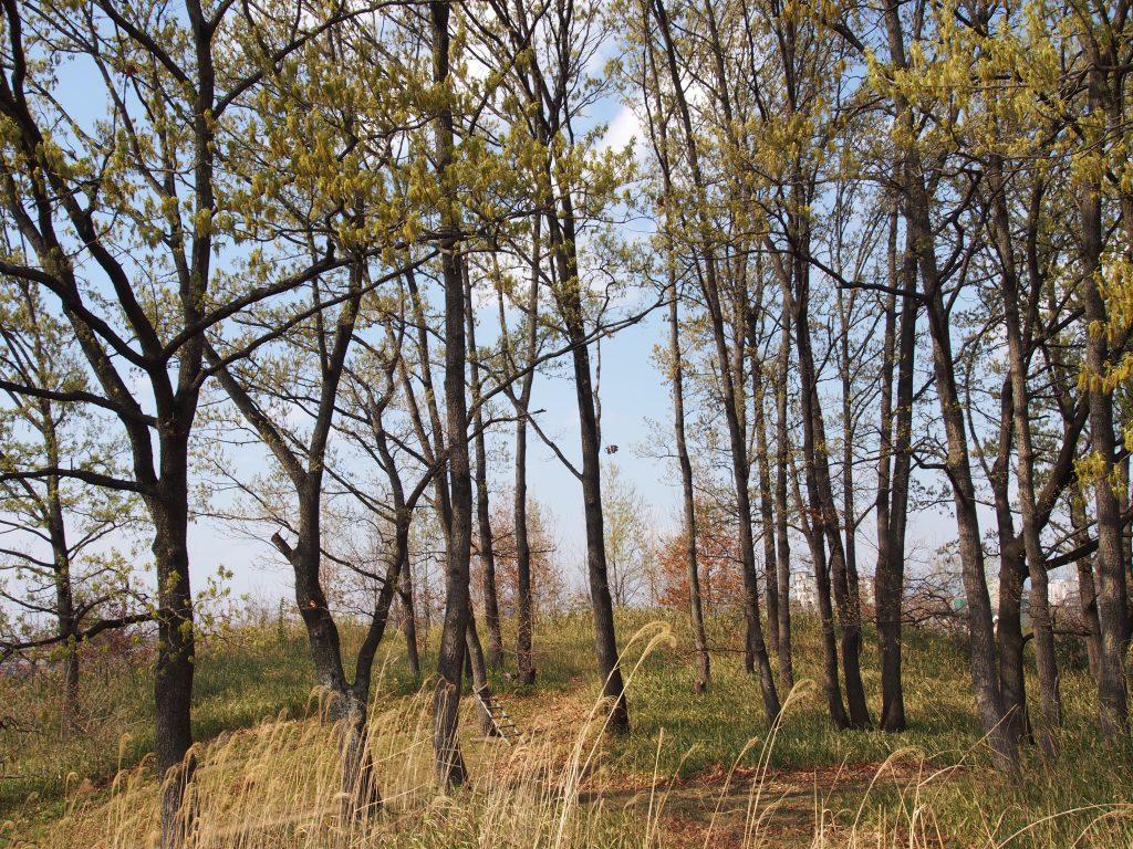 大安寺杉山古墳の木々
