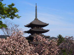 【興福寺西金堂跡・八重桜】光明皇后ゆかりの仏堂跡周辺には「奈良を象徴する桜」が咲き誇る