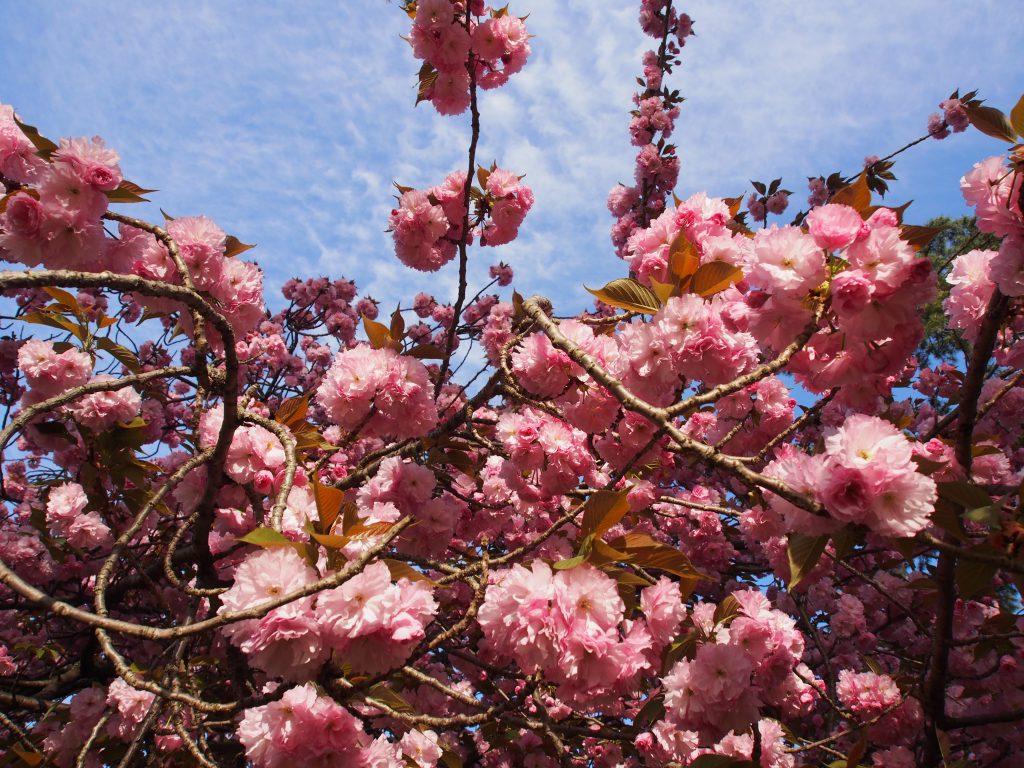 奈良八重桜(興福寺境内)