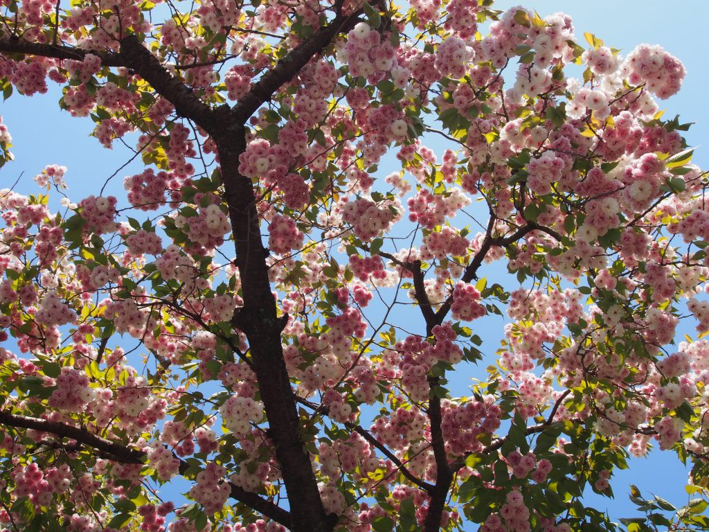東大寺西大門跡周辺に咲き誇る「奈良八重桜」