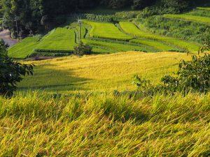 【名阪国道】オメガカーブ沿いにある美しい「中畑町の棚田」ってどんなところ?【稲刈り】