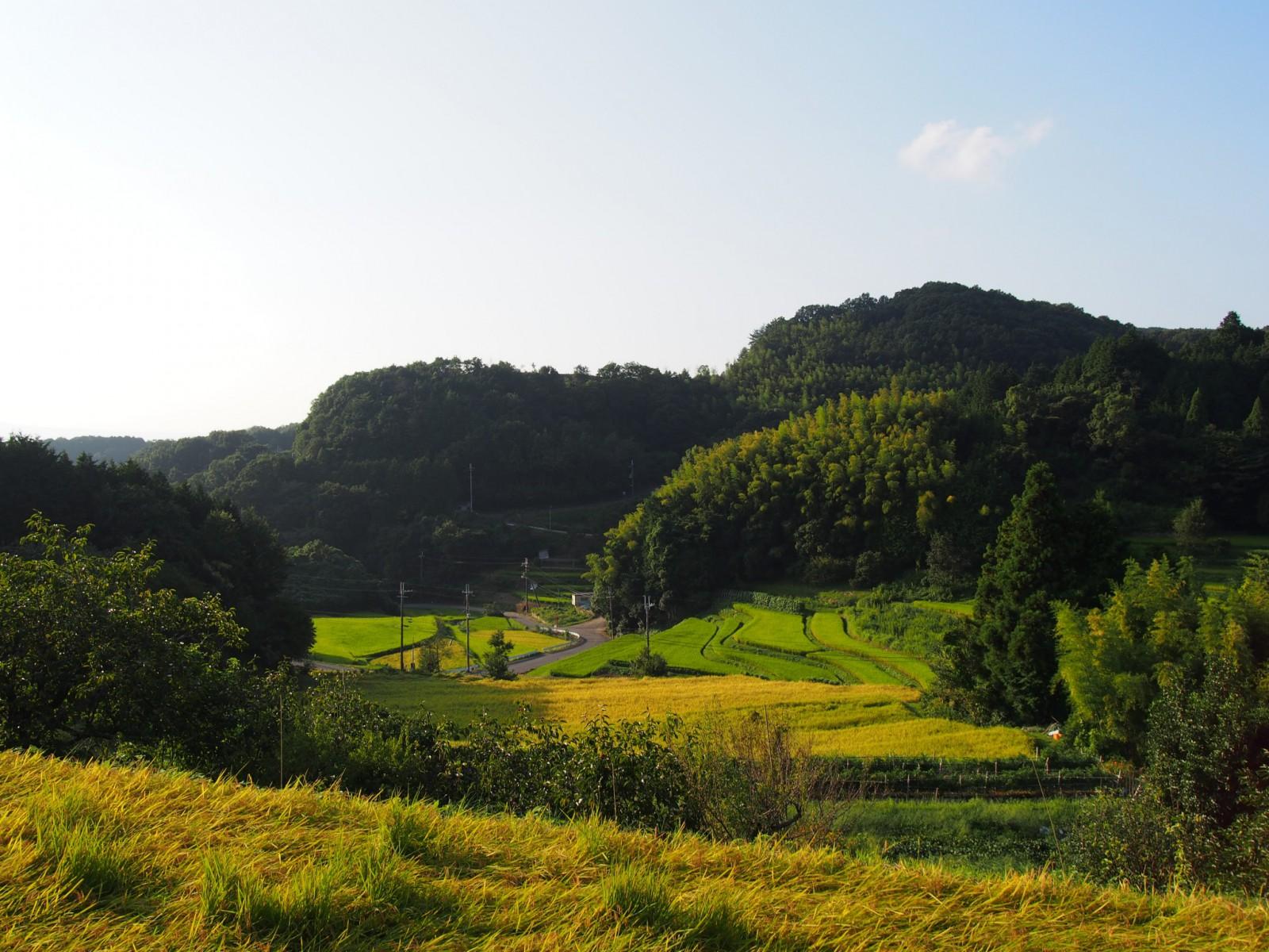 標高により色合いが異なる棚田(中畑町・名阪沿い)