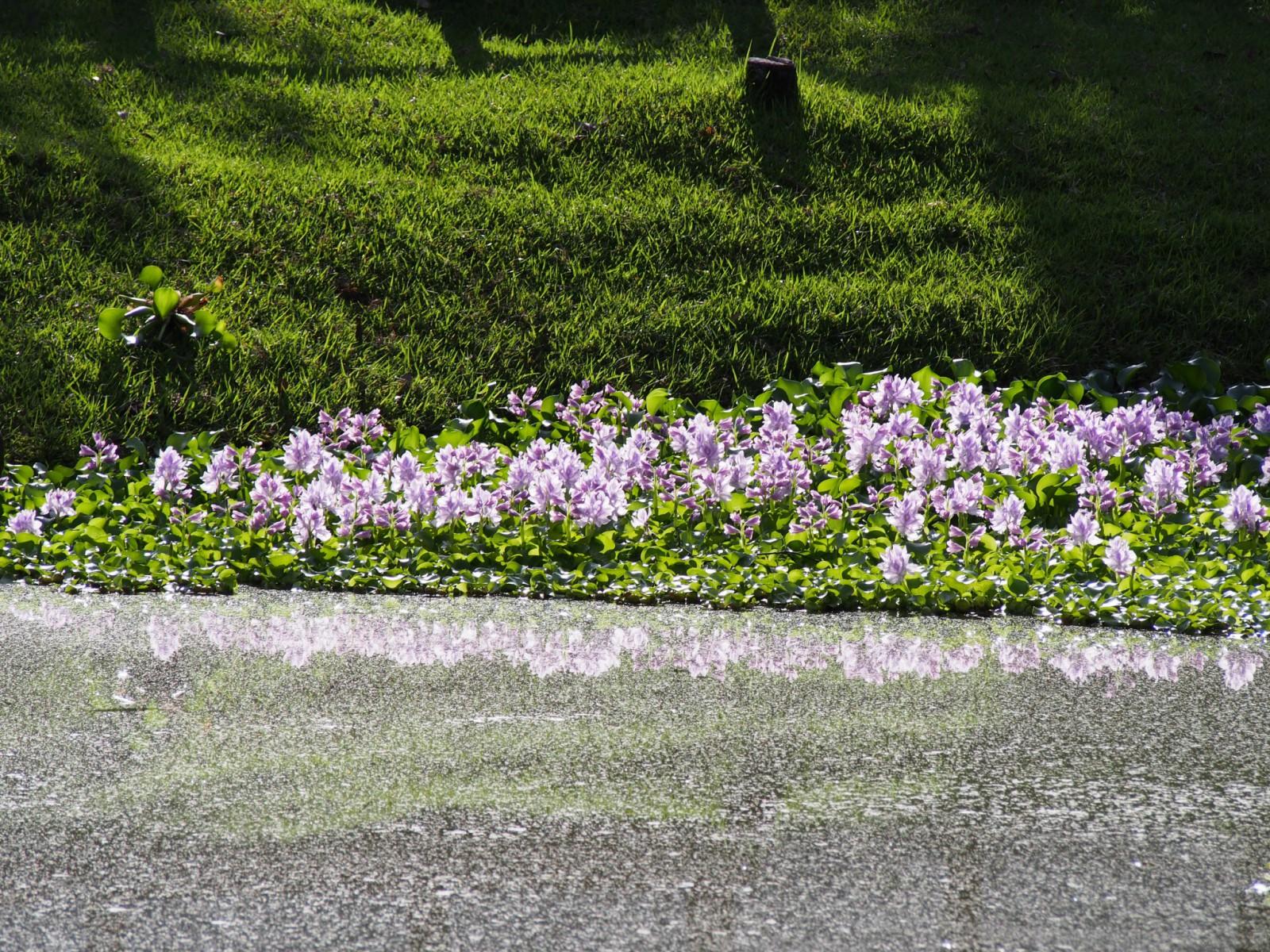 みとりい池に咲く花(9月)