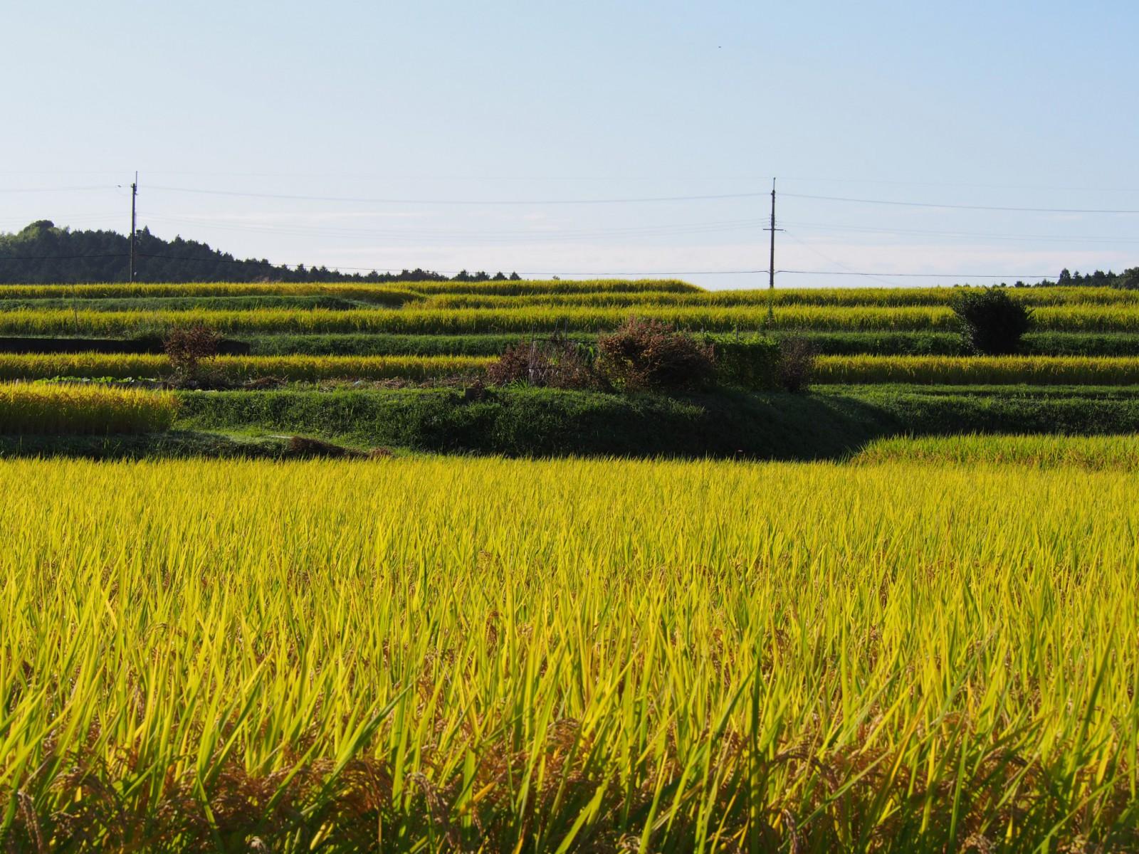 奈良盆地周辺の稲刈りシーズン(山辺の道・北ルート)