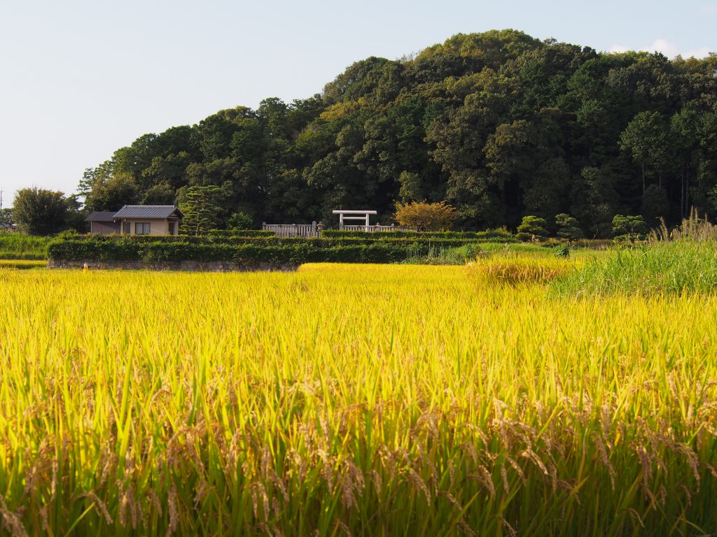 垂仁天皇陵の鳥居と稲刈りを待つ田園
