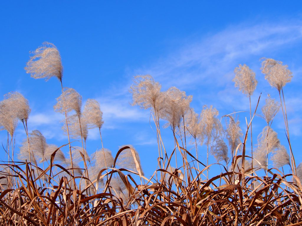 【平城宮跡のススキ】近鉄電車からも見えるのどかな「秋の風物詩」