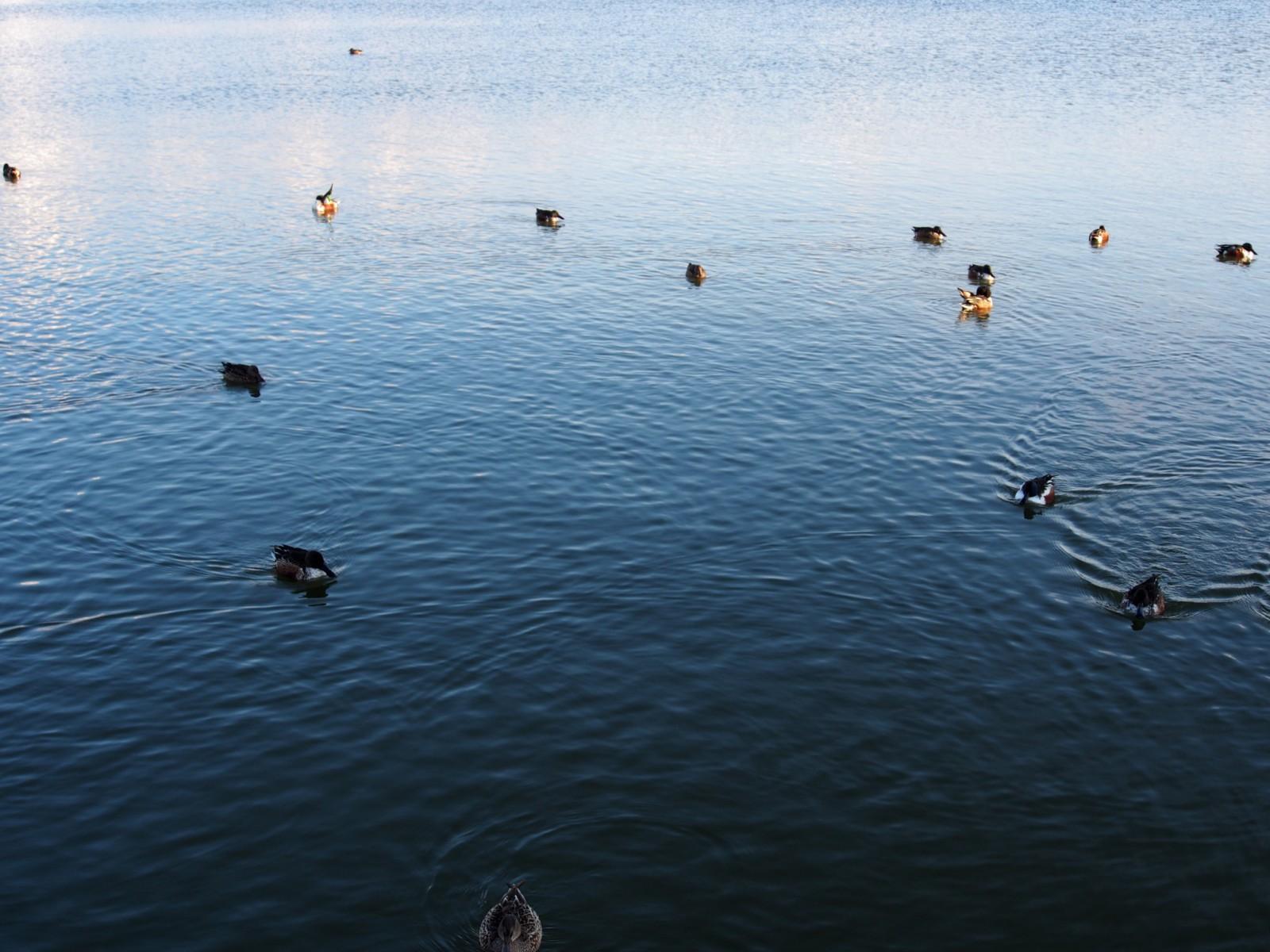 大池の野鳥