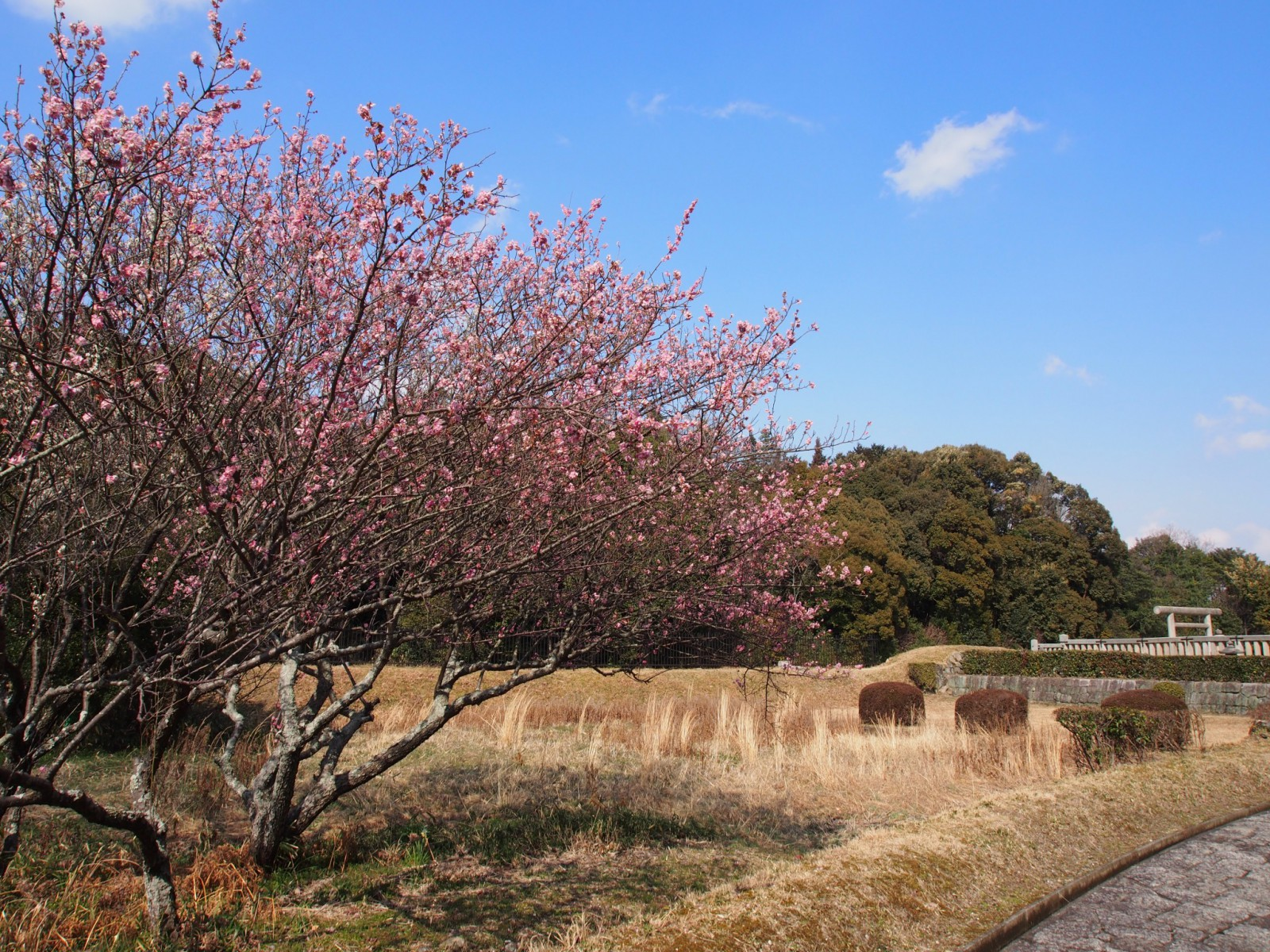 神功皇后陵と「梅」の花