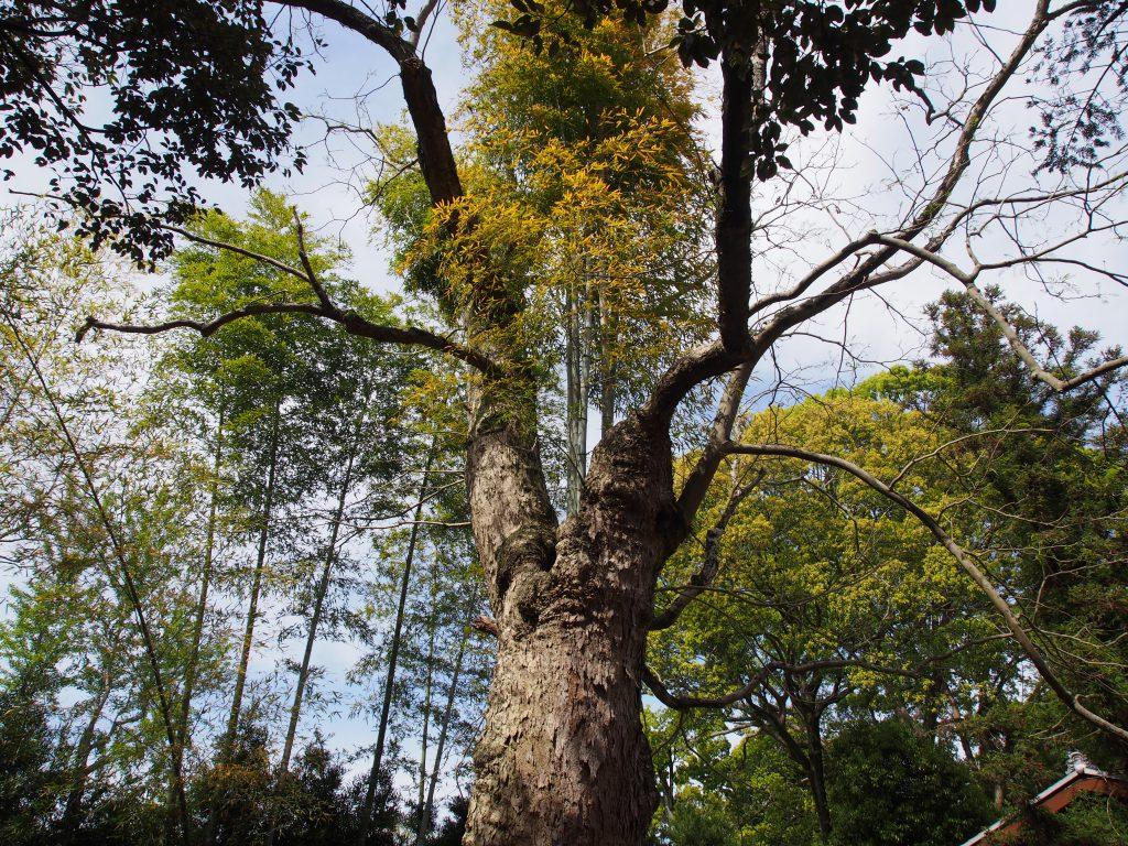 周辺に生える「竹」が侵食したと思われる「ムクロジの木」(奈良公園)
