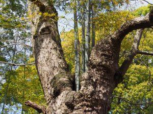 【春日大社参道(奈良公園)のムクロジ】「木の中から竹が生える」という少し奇妙な光景が広がる