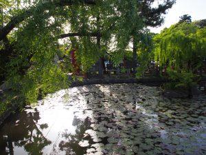 【鏡池(氷室神社)】桜に囲まれた水辺はスイレンが美しい