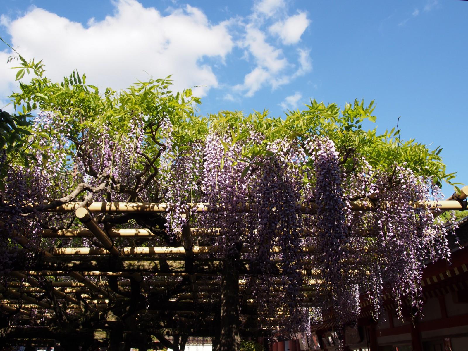 春日大社本殿にも近い「砂ずりの藤」