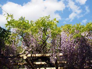 【春日大社】樹齢800年の圧倒的存在「砂ずりの藤」ってどんなもの?美しい藤を写真でご紹介!