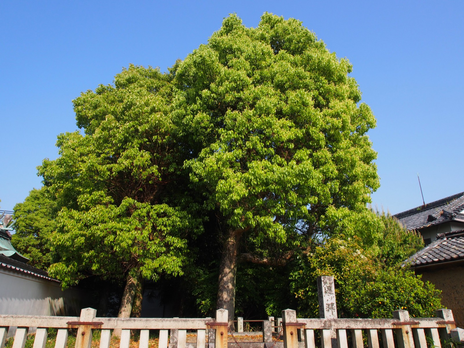 八坂神社境内の立派な樹木