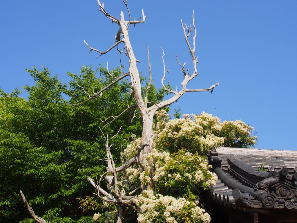 八坂神社境内の枯死した巨木