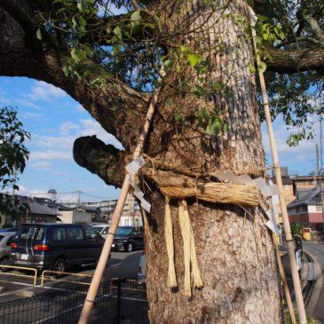 【芝辻の野神さん】市街地に現れる堂々たるご神木