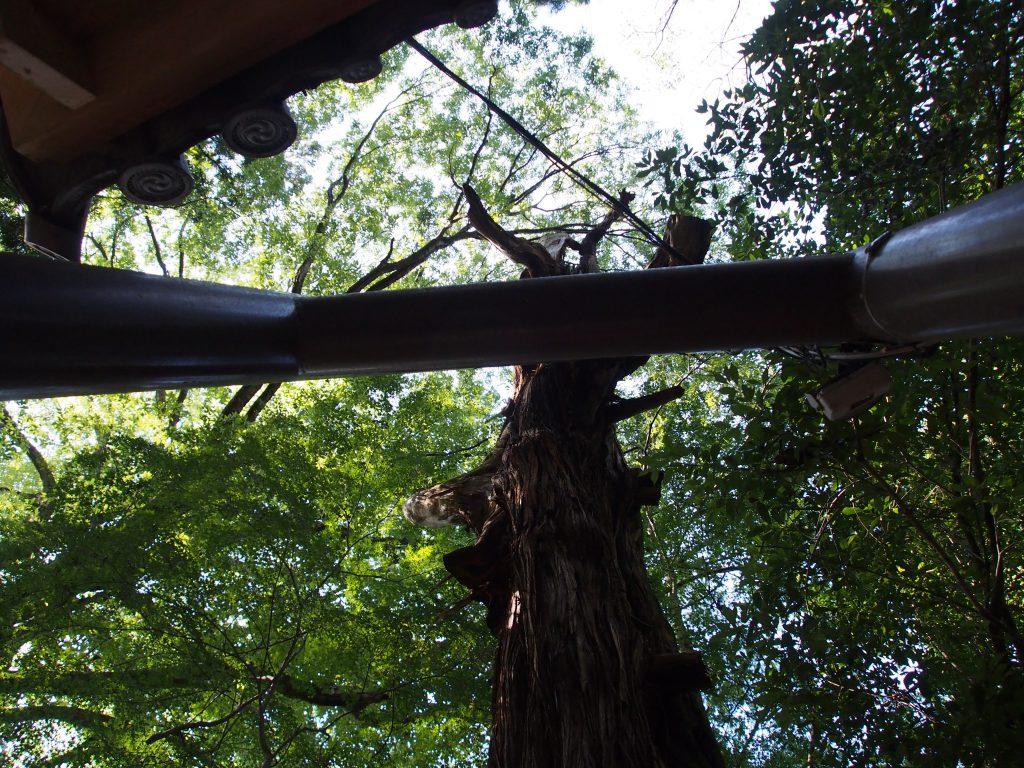 水谷神社脇にそびえ立つ古木