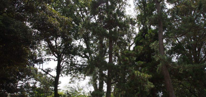 【影向の松】クロマツの木の下では春日若宮おん祭「松の下式」が執り行われる