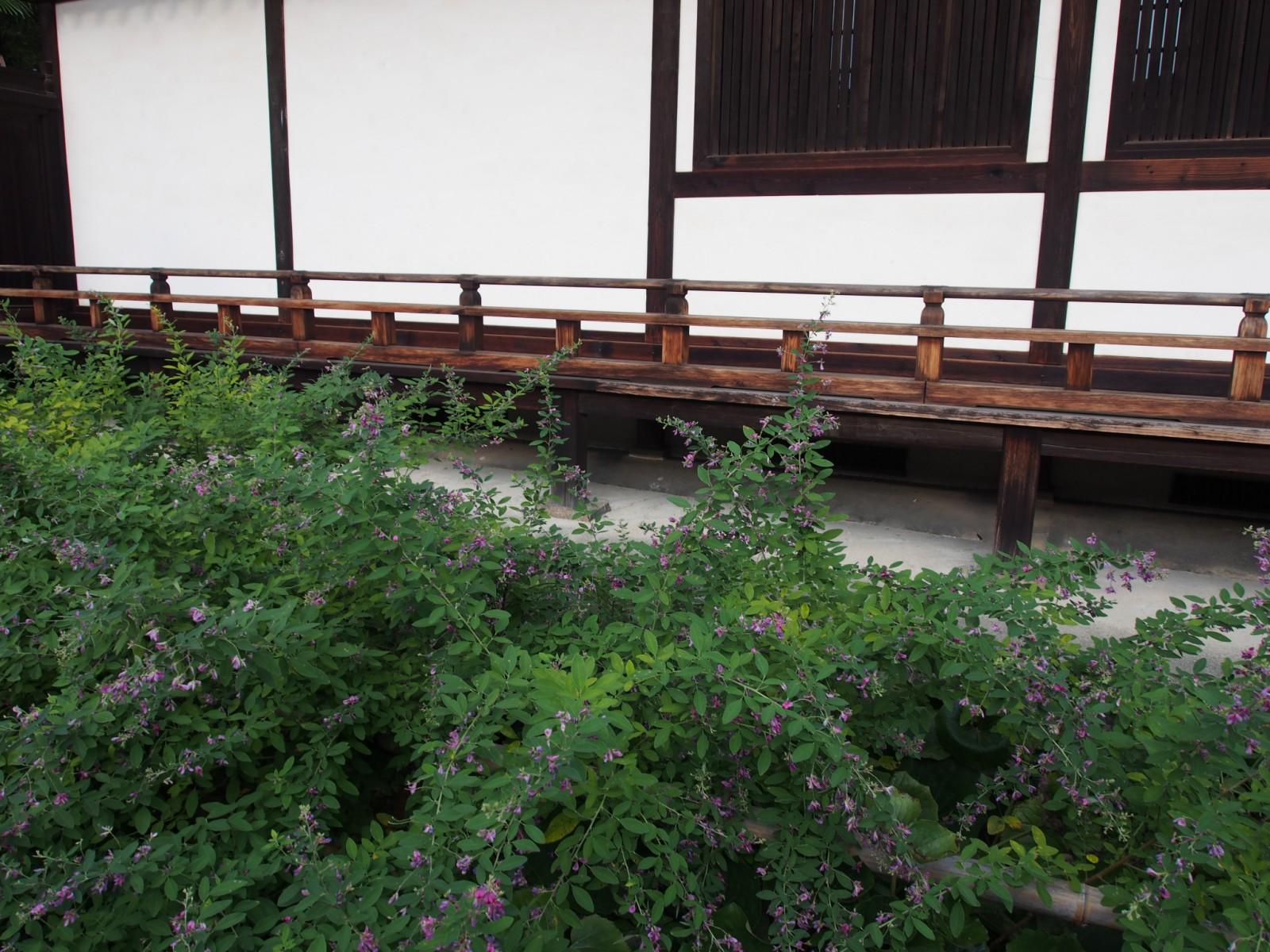 興福寺菩提院の「萩」