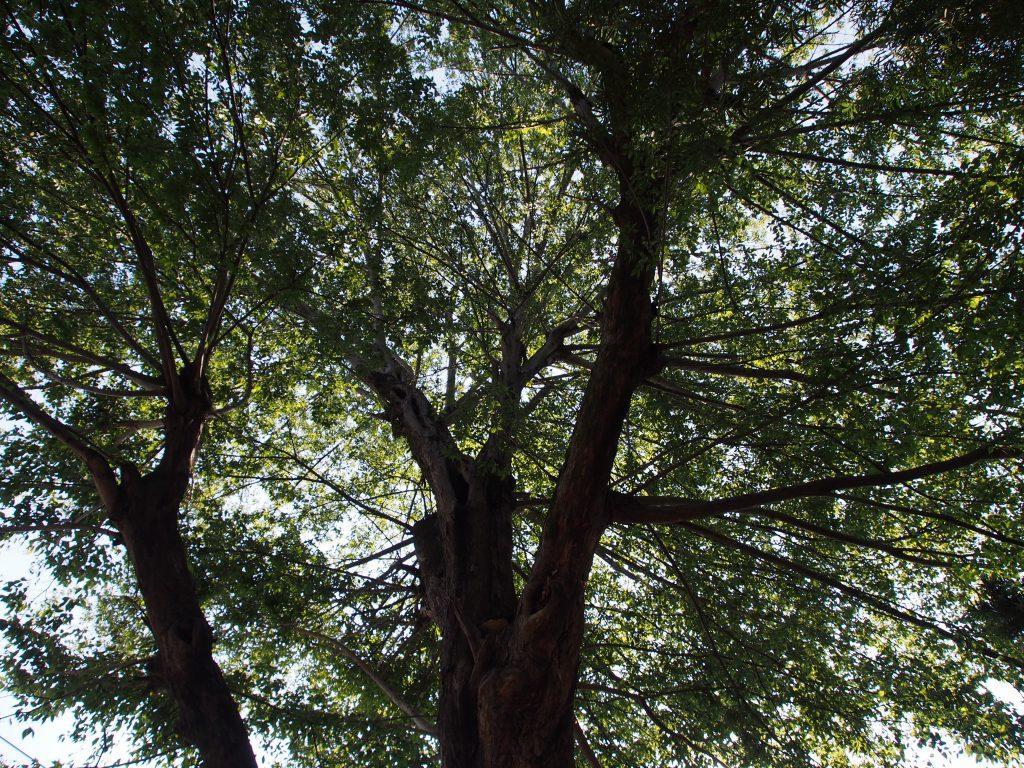奈良・三条通り沿いに生える巨木(手力雄神社前)