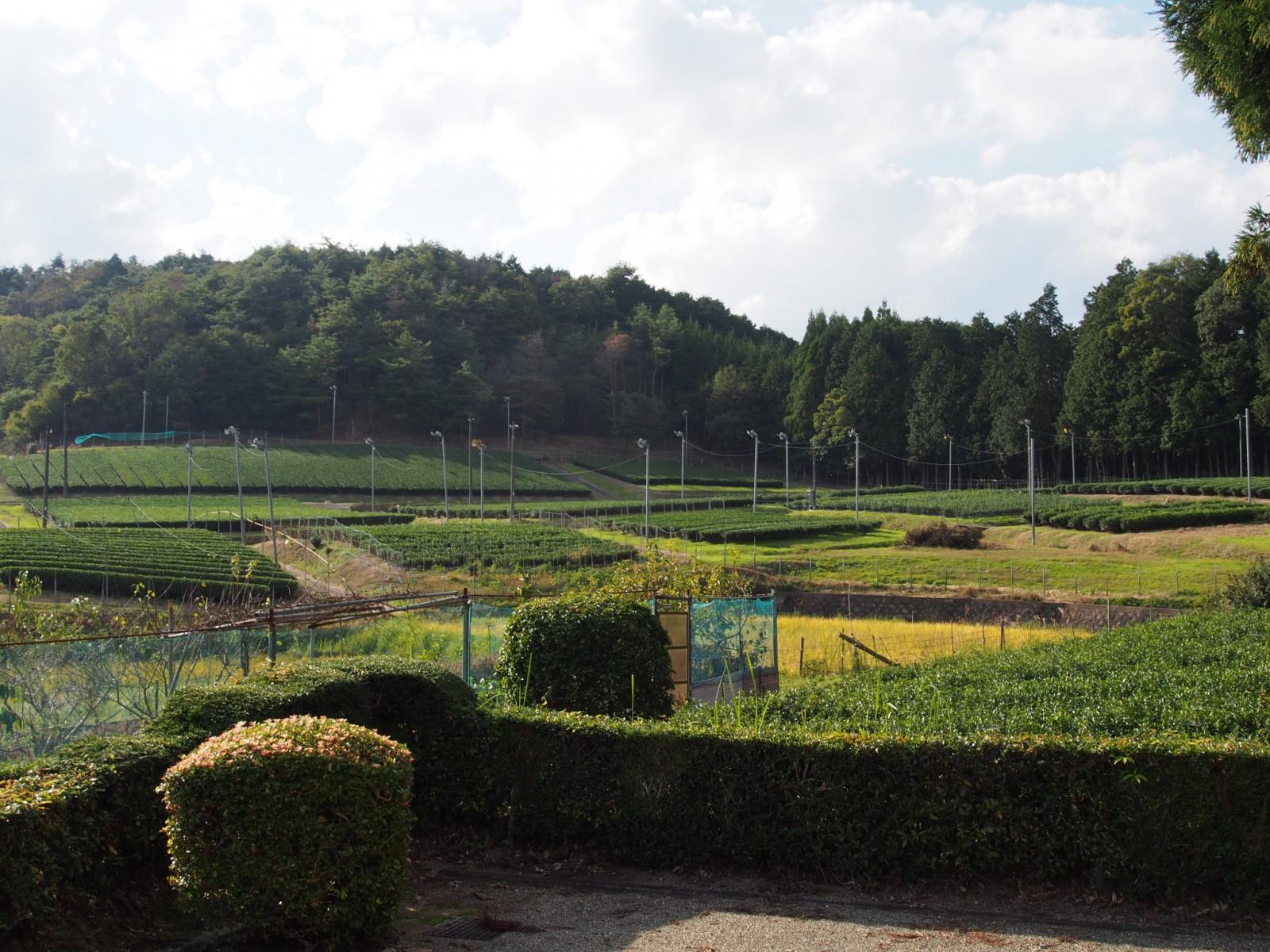 春日宮天皇陵周辺の茶畑