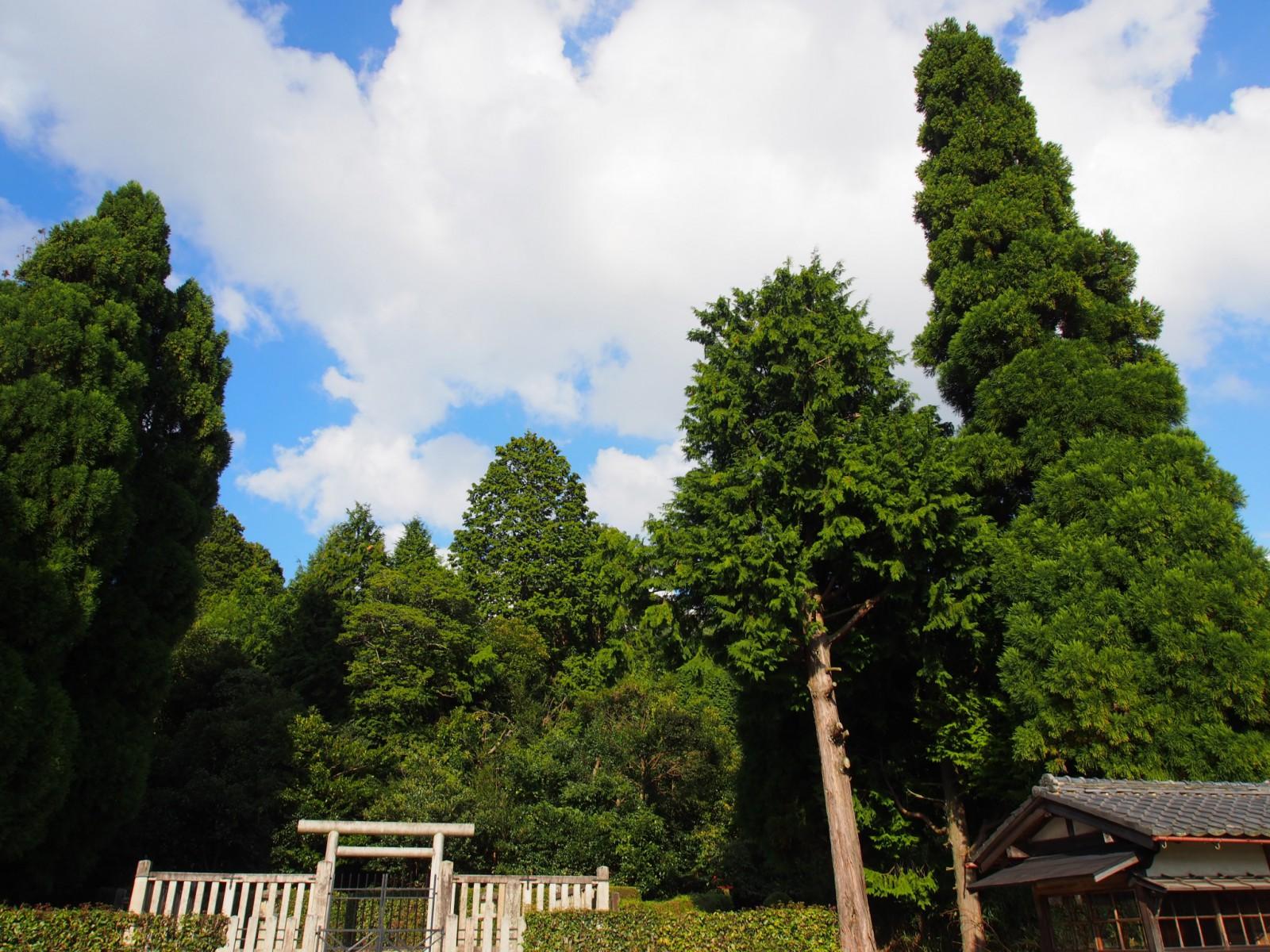 春日宮天皇陵の杉木立