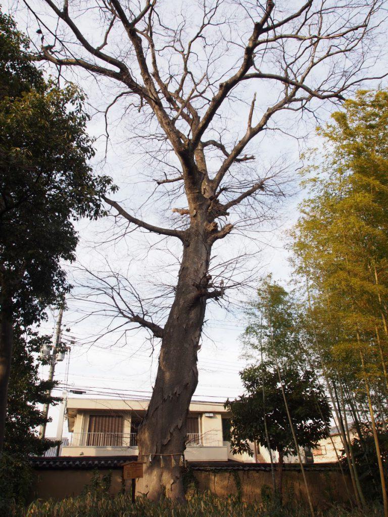 西大寺の大ケヤキ