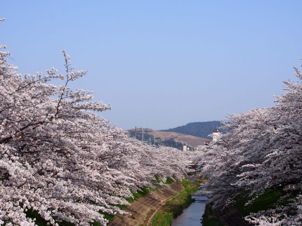 佐保川の桜並木を「大宮橋」から望む風景