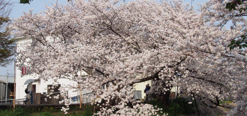 【川路桜】樹齢170年の桜の巨木は幕末に活躍した「名奉行」ゆかり