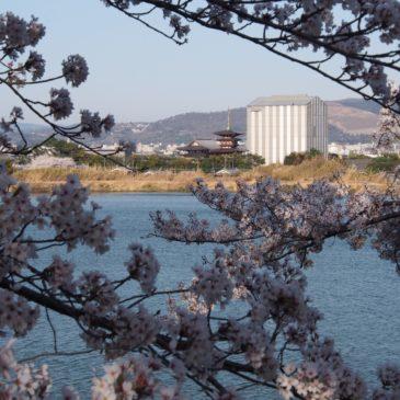 【奈良医療センターの桜(大池)】美しい桜と薬師寺・若草山を見渡す風景を同時に味わえる貴重な空間