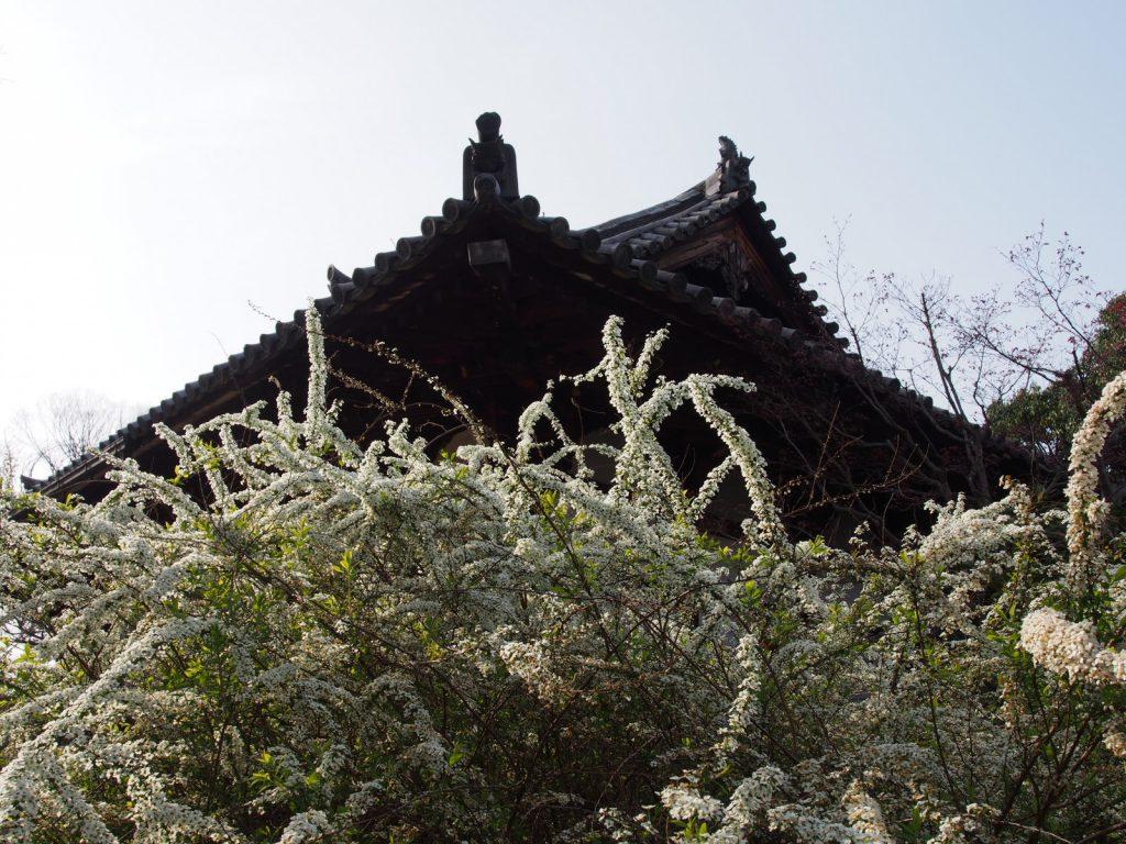 【海龍王寺】平城宮の歴史と深いつながりを持つ寺院は「雪柳」の名所としても名高い