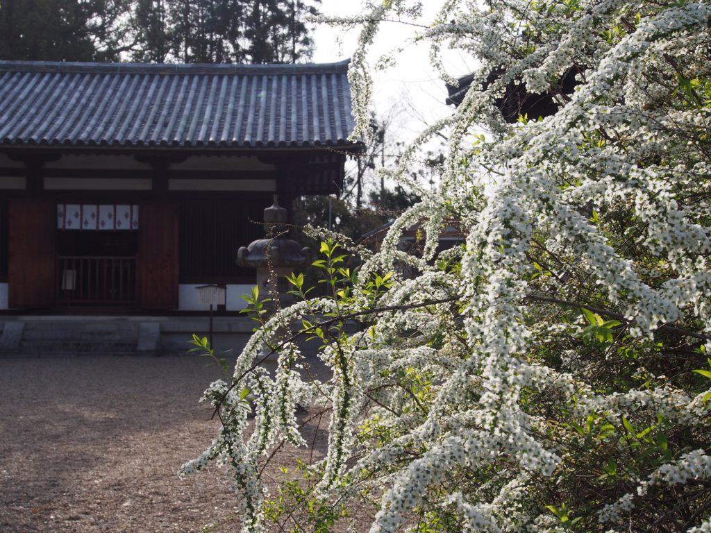 海龍王寺の雪柳