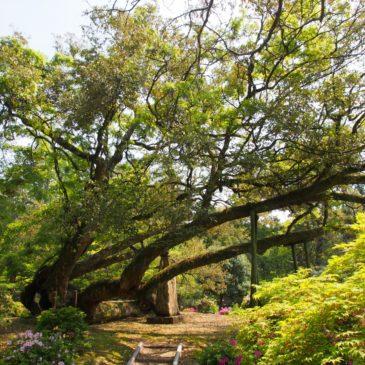 【臥竜のイチイガシ】植物園内に枝葉を広げる巨大な古樹は「竜」のごとき佇まいを見せる